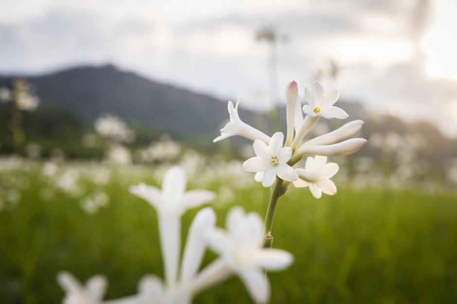 Chanel Grasse fields flowers